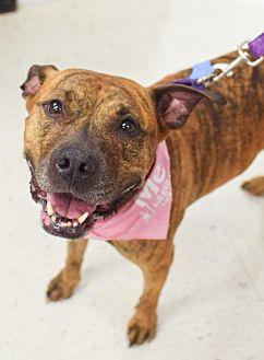 American Pit Bull Terrier Dog for adoption in Fredericksburg, Virginia - Brianna (aka Reesie)