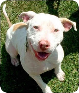 American Pit Bull Terrier Mix Puppy for adoption in Marina del Rey, California - Pinky