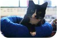 Domestic Shorthair Cat for adoption in Walker, Michigan - Annie