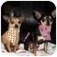 Photo 1 - Chihuahua Dog for adoption in Walterboro, South Carolina - Chihuahuas