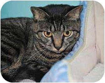 Domestic Shorthair Cat for adoption in Marietta, Georgia - Rhinna