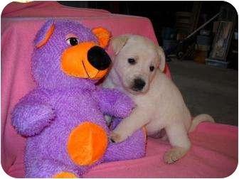 Labrador Retriever Mix Puppy for adoption in Salem, New Hampshire - Mashed Potato