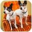 Photo 3 - Rat Terrier/Boston Terrier Mix Dog for adoption in Portland, Oregon - Macie & Dot