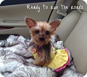 Yorkie, Yorkshire Terrier Dog for adoption in Baton Rouge, Louisiana - Lola