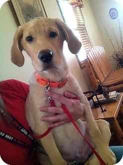 Labrador Retriever Mix Puppy for adoption in Proctorville, Ohio, Ohio - Chester