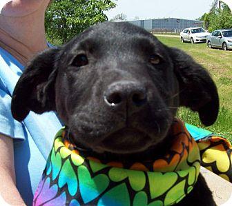 Labrador Retriever/Shepherd (Unknown Type) Mix Puppy for adoption in Glastonbury, Connecticut - SMOKE