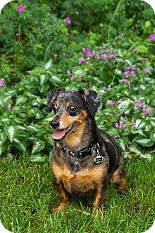 Dachshund Dog for adoption in Schaumburg, Illinois - Buddy-adoption pending