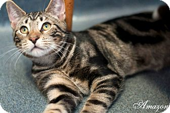 Domestic Shorthair Cat for adoption in Manahawkin, New Jersey - Amazon