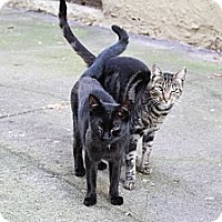 Adopt A Pet :: Blackie - Pittstown, NJ