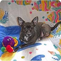 Adopt A Pet :: HoneyBear - Palm Coast, FL