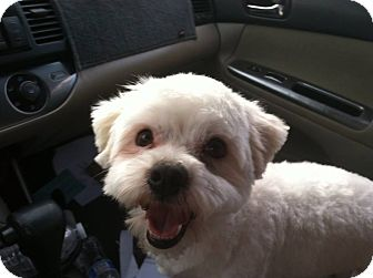 Silky Terrier Mix Dog for adoption in Rancho Cucamonga, California - Spencer