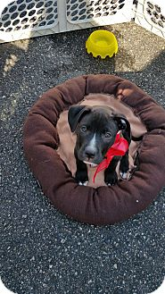 Pit Bull Terrier Mix Puppy for adoption in China, Michigan - Harley