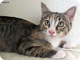 Domestic Shorthair Kitten for adoption in Republic, Washington - Sadie