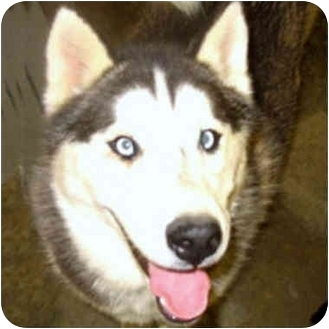 Siberian Husky Dog for adoption in Various Locations, Indiana - Stormy