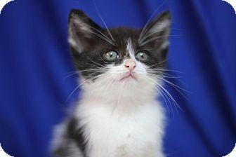 Domestic Shorthair Kitten for adoption in Midland, Michigan - Insalata