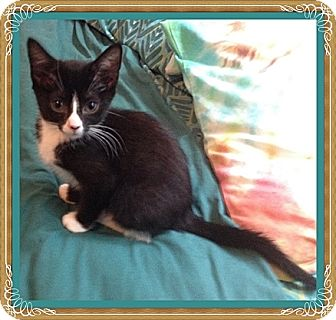 Domestic Shorthair Kitten for adoption in Mt. Prospect, Illinois - Josie