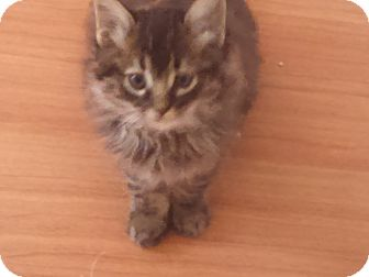 Maine Coon Kitten for adoption in temecula, California - APALLO