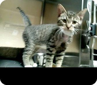 Maine Coon Kitten for adoption in New York, New York - trake