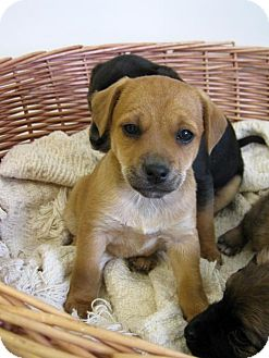 Terrier (Unknown Type, Medium) Mix Puppy for adoption in Flora, Illinois - Penny