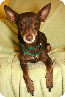 Miniature Pinscher Mix Dog for adoption in Bradenton, Florida - Pez