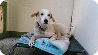 Anatolian Shepherd Mix Dog for adoption in Calgary, Alberta - PAPAS