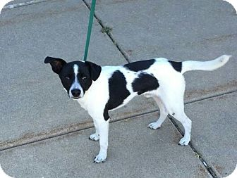 Border Collie/Terrier (Unknown Type, Small) Mix Dog for adoption in Plainfield, Illinois - Baines