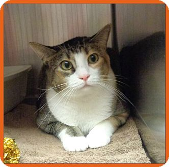 Domestic Shorthair Cat for adoption in Marietta, Georgia - MAISEY (R)