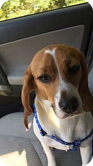 Beagle Puppy for adoption in Williamsburg, Virginia - Evie