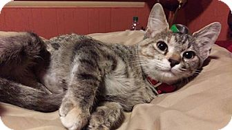 Domestic Shorthair Kitten for adoption in Somonauk, Illinois - Lucy