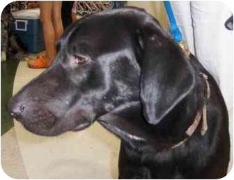 Labrador Retriever Dog for adoption in Overland Park, Kansas - Sam