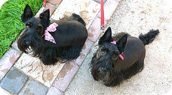 Scottie, Scottish Terrier Dog for adoption in Phoenix, Arizona - Pearl & Ruby