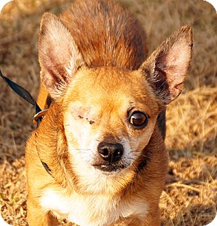 Chihuahua Dog for adoption in Maynardville, Tennessee - Jack Sparrow