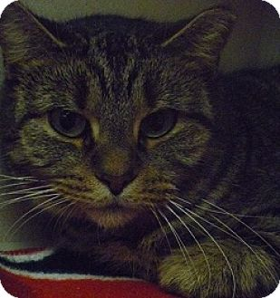 Domestic Shorthair Cat for adoption in Hamburg, New York - Fiona Gal