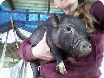 Pig (Potbellied) for adoption in Phoenix, Arizona - Female-runt