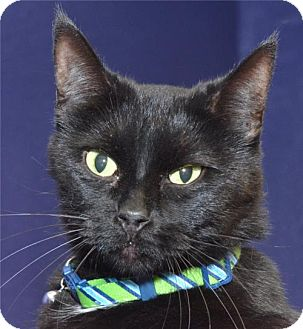Domestic Shorthair Cat for adoption in Lenexa, Kansas - Tiny