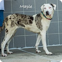 Adopt A Pet :: Maple - Lancaster, TX