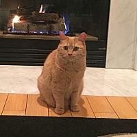 Domestic Mediumhair Cat for adoption in Southington, Connecticut - Custard