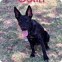 Adopt A Pet :: Ostin - Dana Point, CA