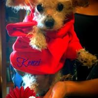 Poodle (Toy or Tea Cup) Mix Dog for adoption in Columbia, South Carolina - Kenzi