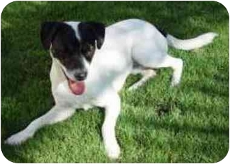 Jack Russell Terrier Dog for adoption in Scottsdale, Arizona - Dude