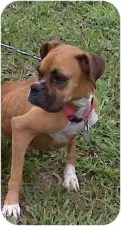 Boxer Dog for adoption in Thomasville, Georgia - Marcy