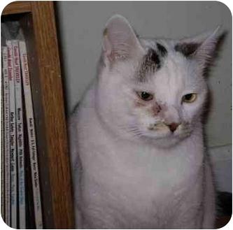 Hemingway/Polydactyl Cat for adoption in San Ramon, California - Max