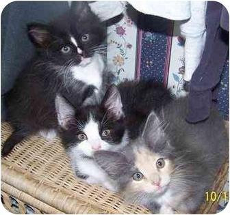 Domestic Mediumhair Kitten for adoption in Glenwood, Minnesota - Kitten trio