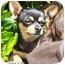 Photo 1 - Chihuahua Mix Dog for adoption in El Segundo, California - Sam