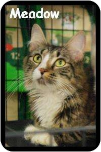 Domestic Shorthair Cat for adoption in Merrifield, Virginia - Meadow