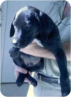 Labrador Retriever Mix Puppy for adoption in Broadway, New Jersey - Collin