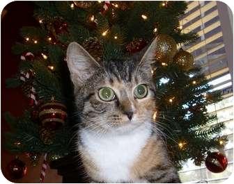 Calico Kitten for adoption in Beaufort, South Carolina - Callie