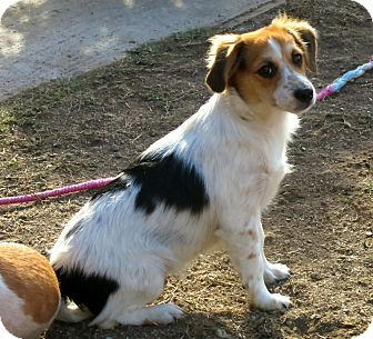 Spaniel (Unknown Type)/Cavalier King Charles Spaniel Mix Dog for adoption in Los Angeles, California - Elliott