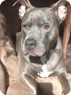 American Pit Bull Terrier/American Staffordshire Terrier Mix Dog for adoption in Phoenix, Arizona - Blue~ Courtesy Post