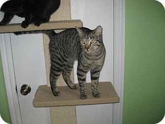 Domestic Shorthair Cat for adoption in Edmond, Oklahoma - Lenny